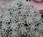 화이트그리니군생한몸(대품) Dudleya White gnoma(White greenii / White sprite)