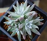 화이트그리니5두 자연군생(목대짱)94 Dudleya White gnoma(White greenii / White sprite)