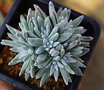 화이트그리니8두 자연군생(목대짱)95 Dudleya White gnoma(White greenii / White sprite)