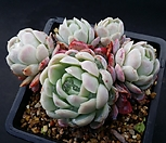 라즈베리아이스|Echeveria Rasberry Ice