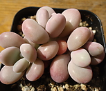 814 아메치스 자연군생|Graptopetalum amethystinum