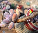 묵은홍미인(한몸)|Pachyphytum ovefeum cv. momobijin