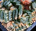 옥선최상급 11두군생|Haworthia truncata