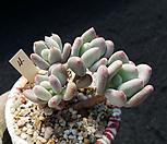 이미인자연군생|Pchyphytum oviferum mikadukibijin