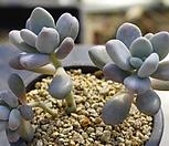 20. 아메치스|Graptopetalum amethystinum