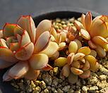 69. 섭코림보사|Echeveria subcorymbosa (lau 026)