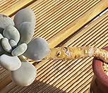 묵은 성미인 Pachyphytum oviferum