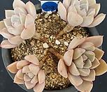 핑크프리티-a203(2월)|Echeveria Pretty in  Pink
