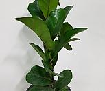 떡갈나무(한몸으로 이루어져 있어요)|