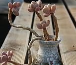 홍미인 Pachyphytum ovefeum cv. momobijin