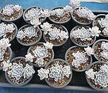 멕시칸스노우볼 16(set)개 Echeveria Mexican Snowball