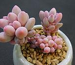 베이비핑거220-306 Pachyphytum Machucae (baby finger)