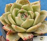 샴록 Echeveria cv shamrock