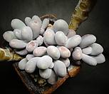 문스톤(한몸) Pachyphytum Oviferum Moon Stone