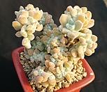 백금사황철화|Echeveria setosa Hybrid