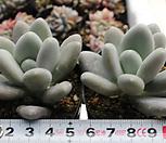 성미인[랜덤] Pachyphytum oviferum