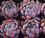 호주콜로라타|Echeveria colorata