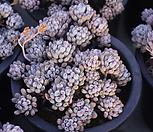 묵은블루빈스|Graptopetalum pachyphyllum Bluebean