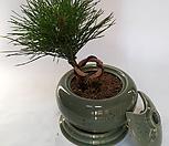 청자옹기소나무|