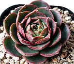 환엽롱기시마 -1229 Echeveria longissima