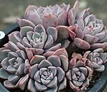 핑크프리티-0|Echeveria Pretty in  Pink