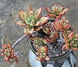 긴잎적성묵은목질|Echeveria agavoides Akaihosi