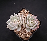 블루클라우드|Echeveria blue cloud