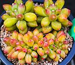 천대전송철화55|Pachyphytum compactum