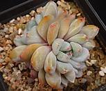 (경매24-1) 성영군생 Echeveria elegans Potosina