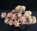 리틀뷰티철화대품|Graptosedum Little Beauty