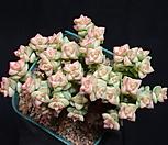 희성금 15-61|Crassula Rupestris variegata