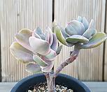 데코라금>>컷팅2두|Echeveria gibbiflora Decora