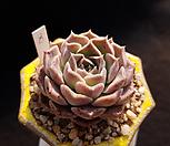 일본히아리나|Echeveria Helena