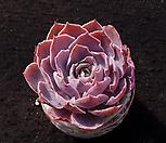 핑키(굵은목대 중품이상)|Echeveria cv Pinky