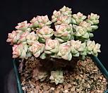 희성금 15-174|Crassula Rupestris variegata