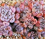 묵은 검은가시자라고사 Echeveria mexensis Zaragosa