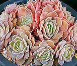 온슬로우(적심) Echeveria cv  Onslow