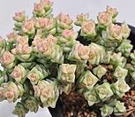 희성금223-28 묵은|Crassula Rupestris variegata