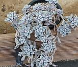 샌디고군생(2몸합식)랜덤|Graptopetalum sp(Ellen)