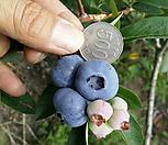 대왕 블루베리 4년생 동전만큼 큰 열매에 깜짝놀라...|