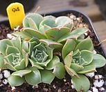 원종롱기시마 94|Echeveria longissima
