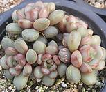 아메트롬(홍포도)26|Graptoveria Ametum