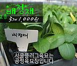 배청채 모종 3개(1000원) 서울육묘생산 정품모종|