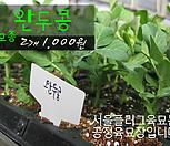 완두콩 모종 2개(1000원) 서울육묘생산 정품모종|