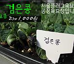 검은콩 모종 2개(1000원) 서울육묘생산 정품모종|