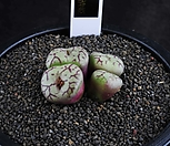XP1343-Conophytum minimum scitulum  미니멈 4두|