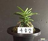 옥금강/난/나라아트/동양란/부귀란/풍란/공기정화식물|