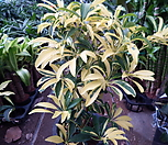 황금무늬홍콩야자001 홍콩 야자 나무 황금|