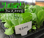 청로메인상추 모종 7개(2000원) 서울육묘생산 정품모종|