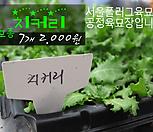 치커리(엔다이브) 모종 7개(2000원) 서울육묘생산 정품모종|